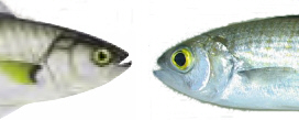 Salmon and herring comparison